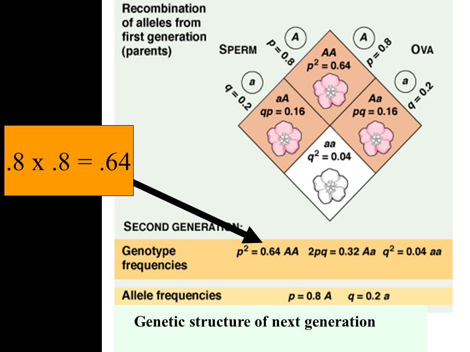 .8 x .8 = .64 Genetic structure of next generation