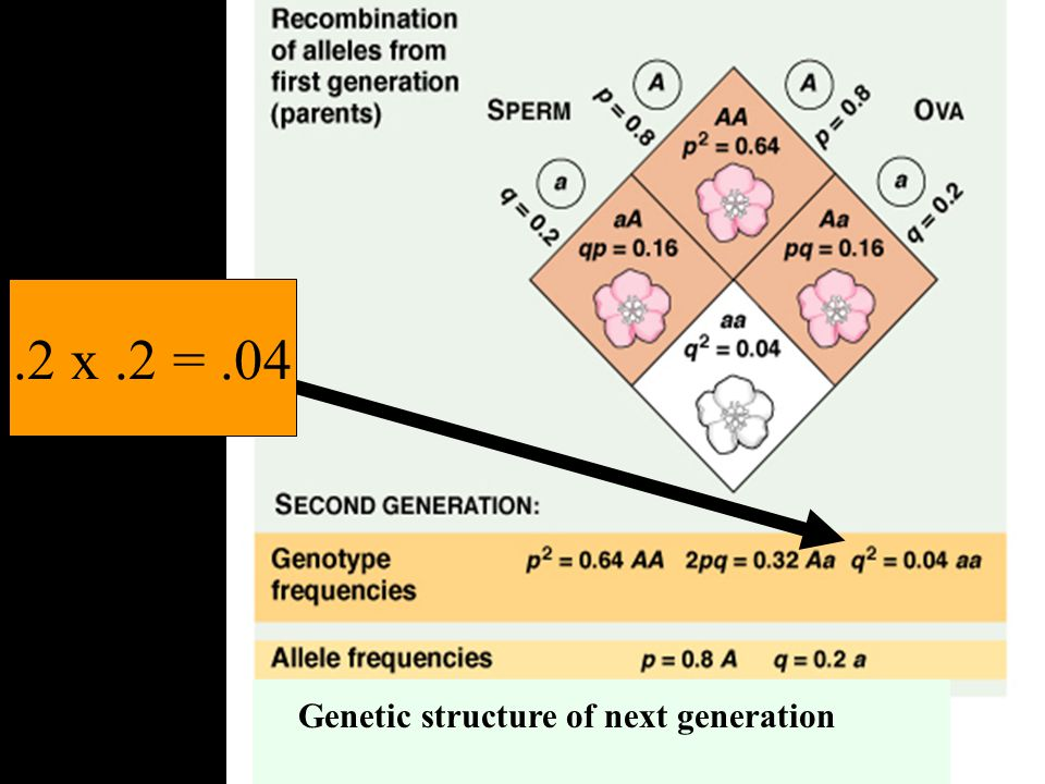 .2 x .2 = .04 Genetic structure of next generation
