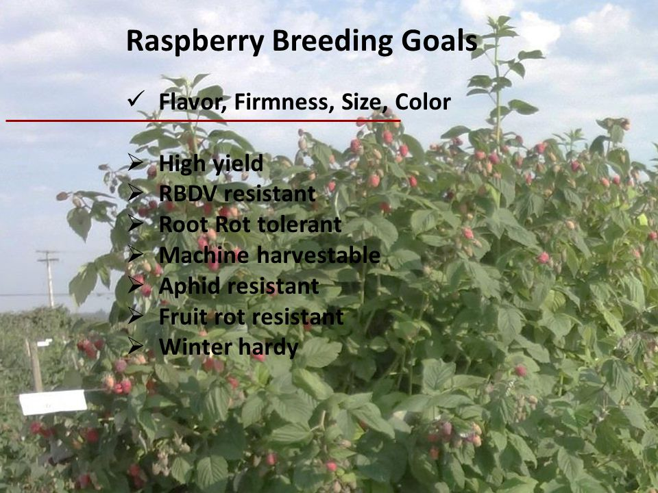 Raspberry Breeding Goals
