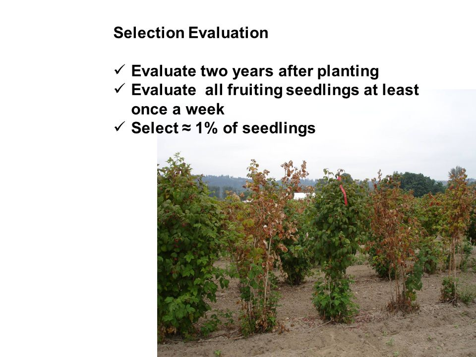 Selection Evaluation Evaluate two years after planting. Evaluate all fruiting seedlings at least once a week.