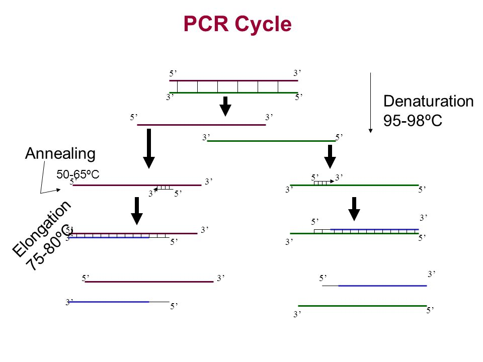PCR Cycle Denaturation 95-98ºC Annealing 50-65ºC Elongation 75-80ºC 5'