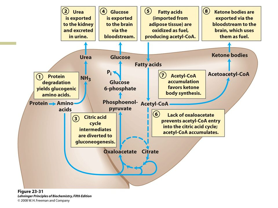 FIGURE 23-31 Fuel metabolism in the liver during prolonged fasting or in uncontrolled diabetes mellitus.