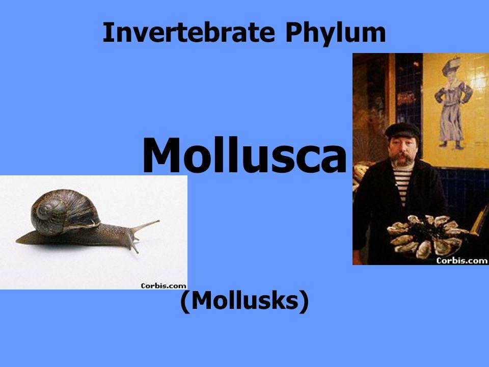 Invertebrate Phylum Mollusca (Mollusks)