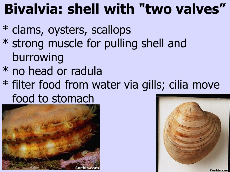 Bivalvia: shell with two valves