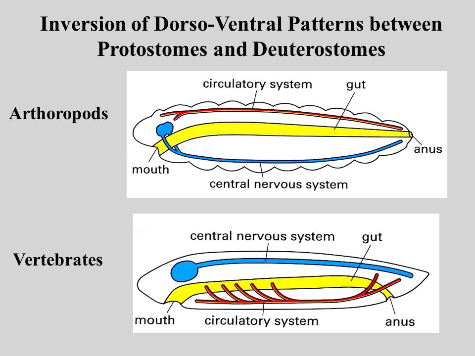 Inversion of Dorso-Ventral Patterns between Protostomes and Deuterostomes