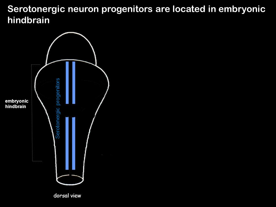 Serotonergic neuron progenitors are located in embryonic hindbrain