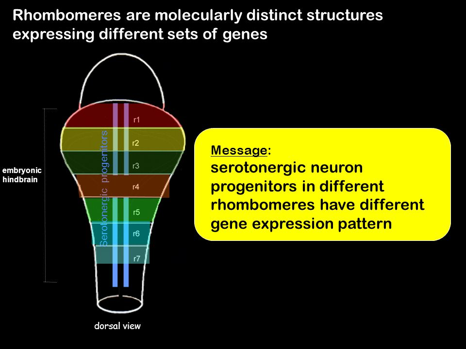 Rhombomeres are molecularly distinct structures expressing different sets of genes