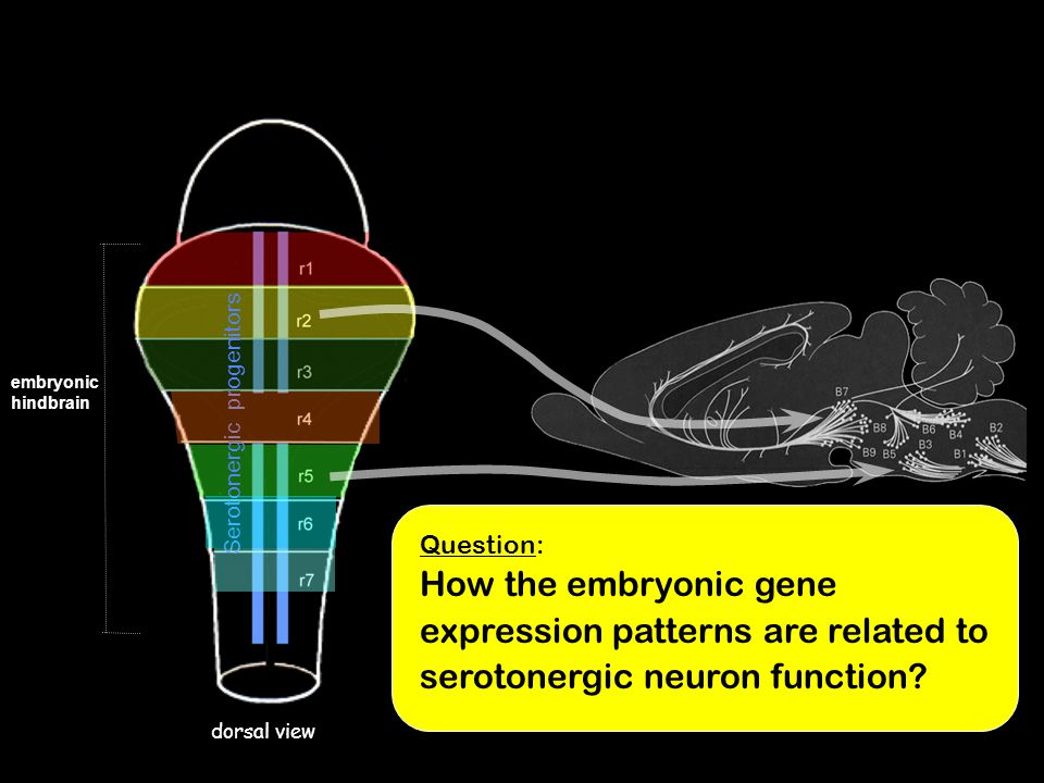embryonic hindbrain. Serotonergic progenitors.