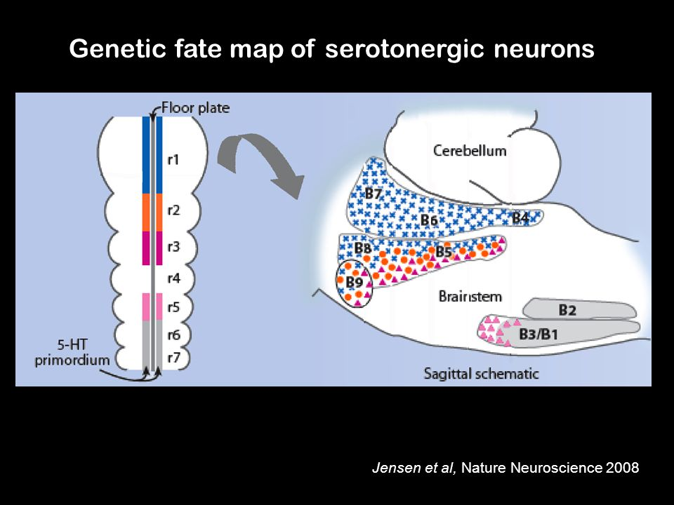 Genetic fate map of serotonergic neurons