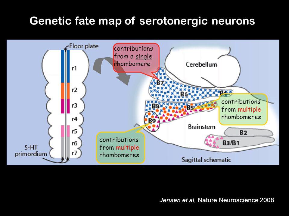 Genetic fate map of serotonergic neurons