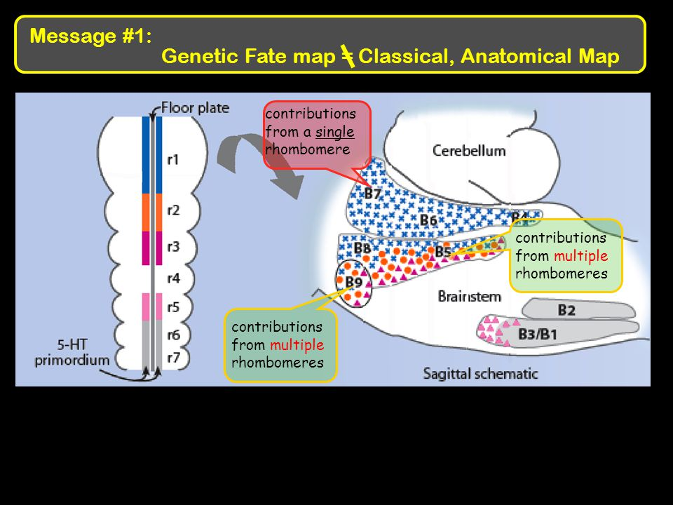 Genetic Fate map = Classical, Anatomical Map