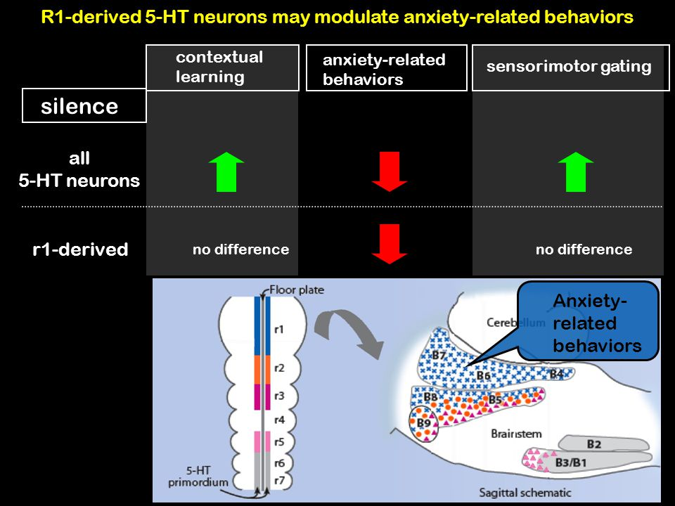 R1-derived 5-HT neurons may modulate anxiety-related behaviors
