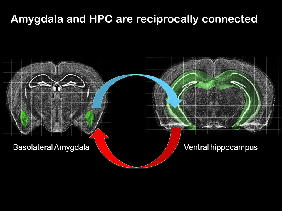 Amygdala and HPC are reciprocally connected