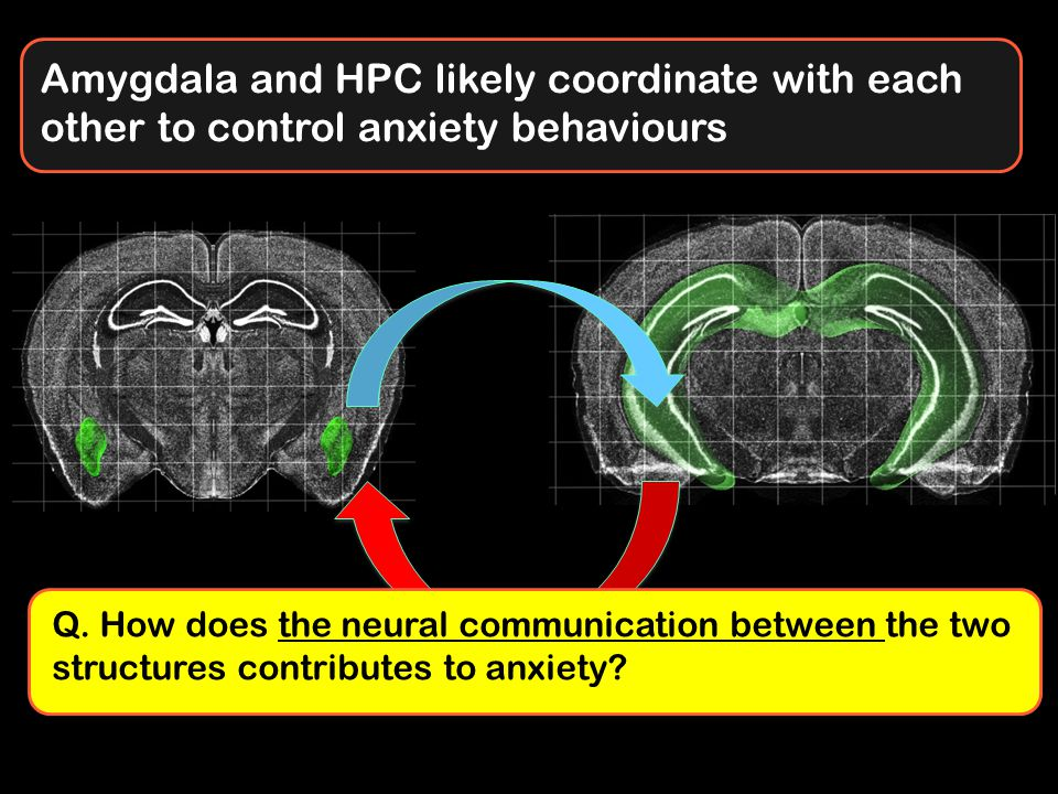 Amygdala and HPC likely coordinate with each other to control anxiety behaviours