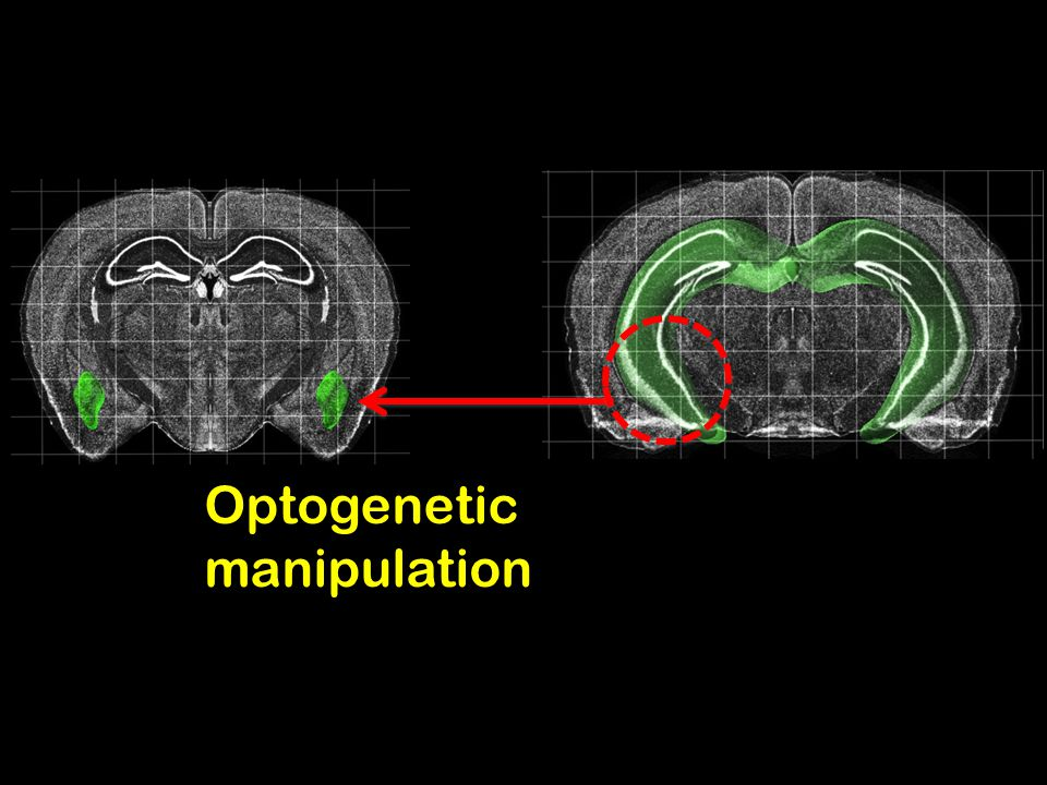 Optogenetic manipulation