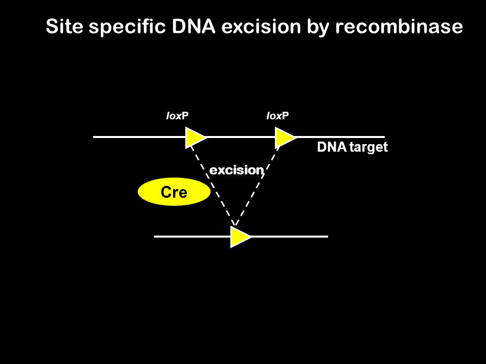 Site specific DNA excision by recombinase