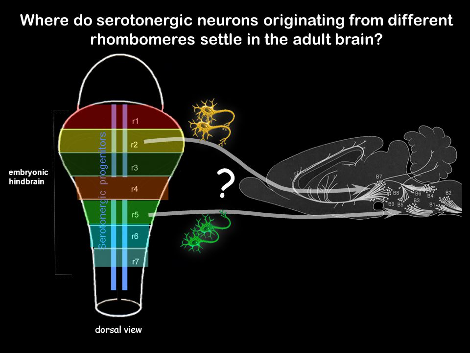 Where do serotonergic neurons originating from different rhombomeres settle in the adult brain