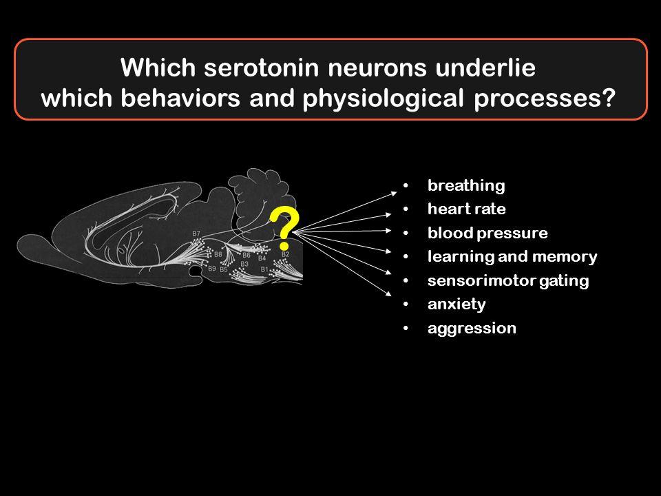 Which serotonin neurons underlie