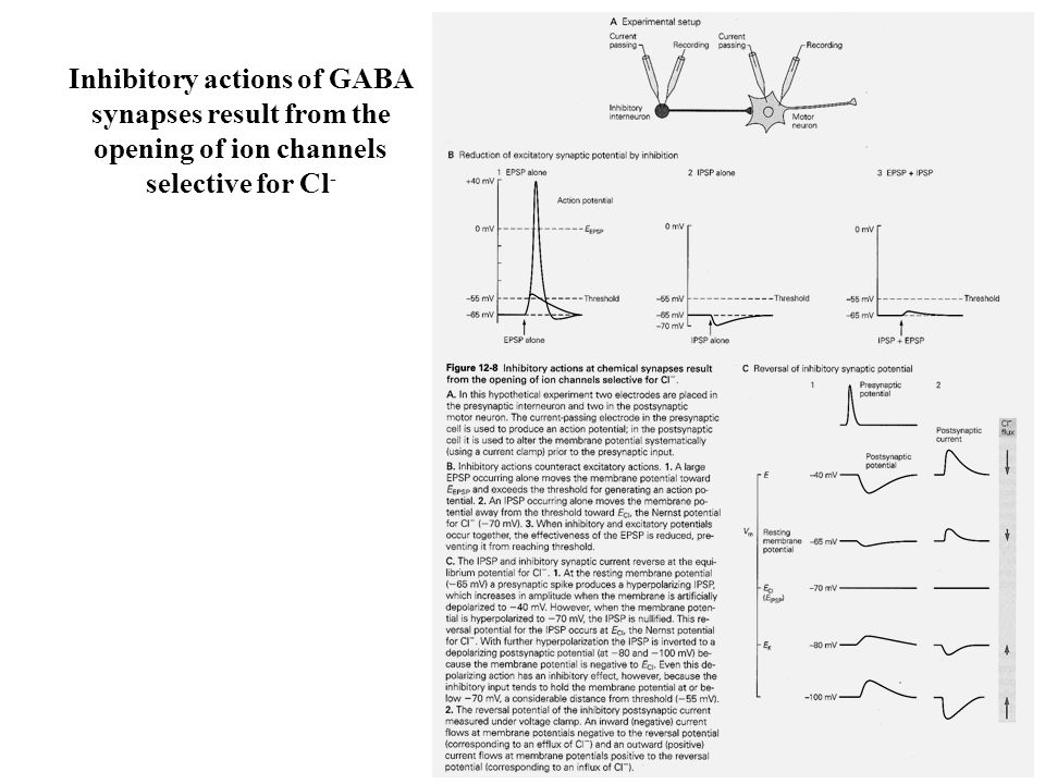 Inhibitory actions of GABA synapses result from the opening of ion channels selective for Cl-