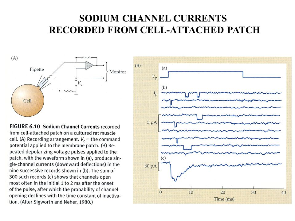 SODIUM CHANNEL CURRENTS RECORDED FROM CELL-ATTACHED PATCH