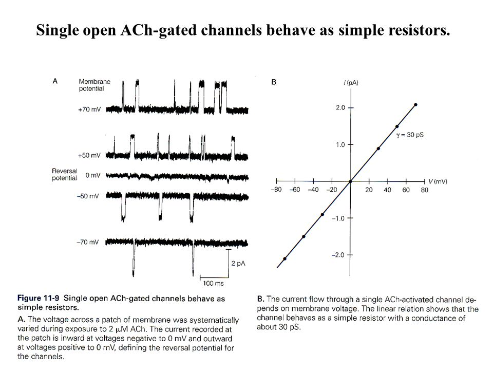Single open ACh-gated channels behave as simple resistors.