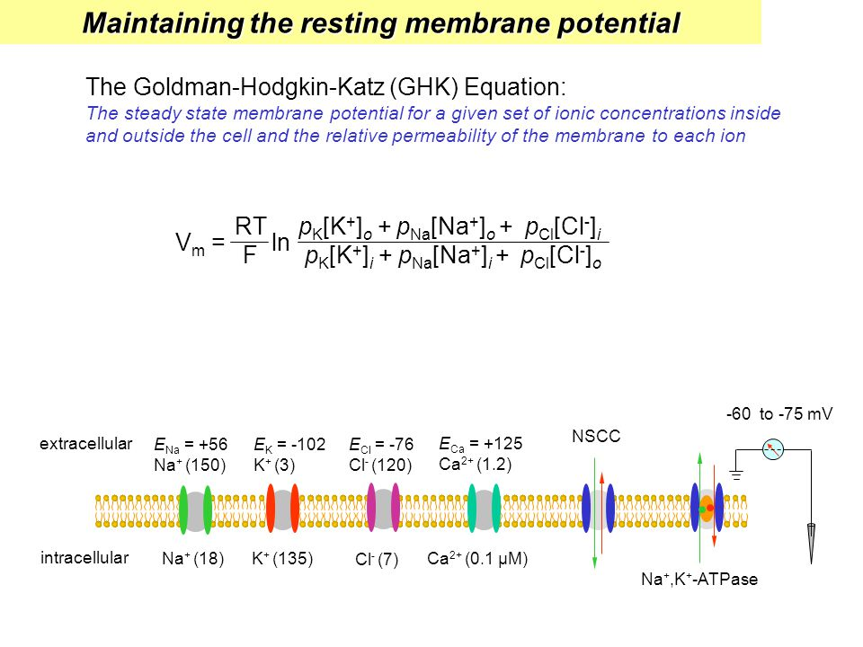Maintaining the resting membrane potential