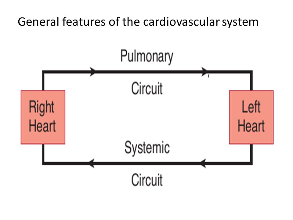 General features of the cardiovascular system