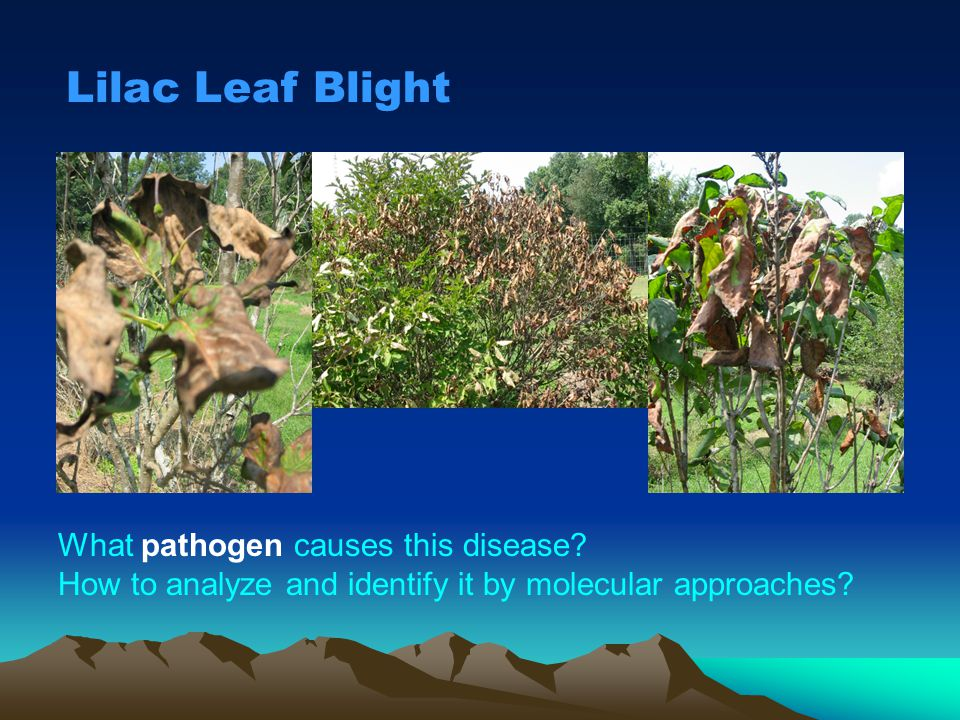Lilac Leaf Blight What pathogen causes this disease
