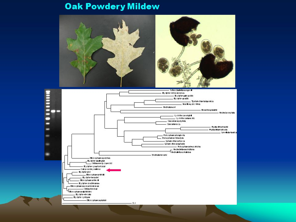 Oak Powdery Mildew