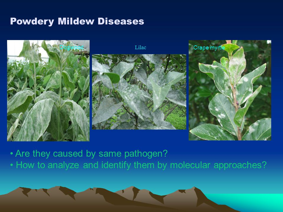 Powdery Mildew Diseases