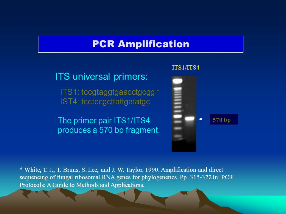 PCR Amplification ITS universal primers: ITS1: tccgtaggtgaacctgcgg *