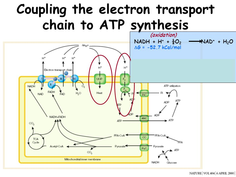 Coupling the electron transport chain to ATP synthesis
