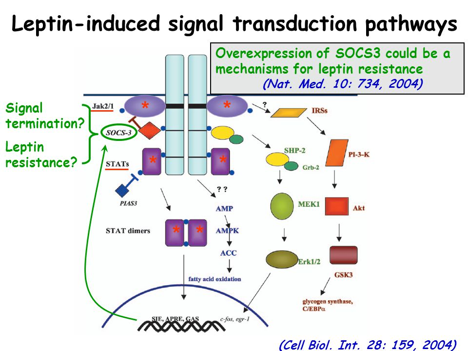 Leptin-induced signal transduction pathways