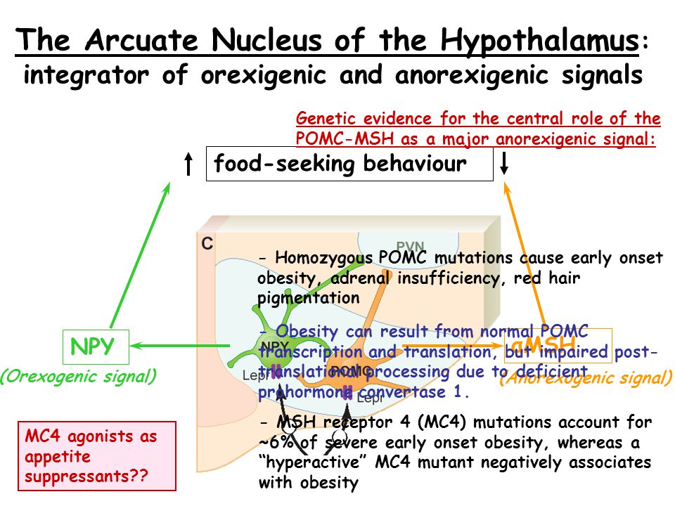 The Arcuate Nucleus of the Hypothalamus: integrator of orexigenic and anorexigenic signals