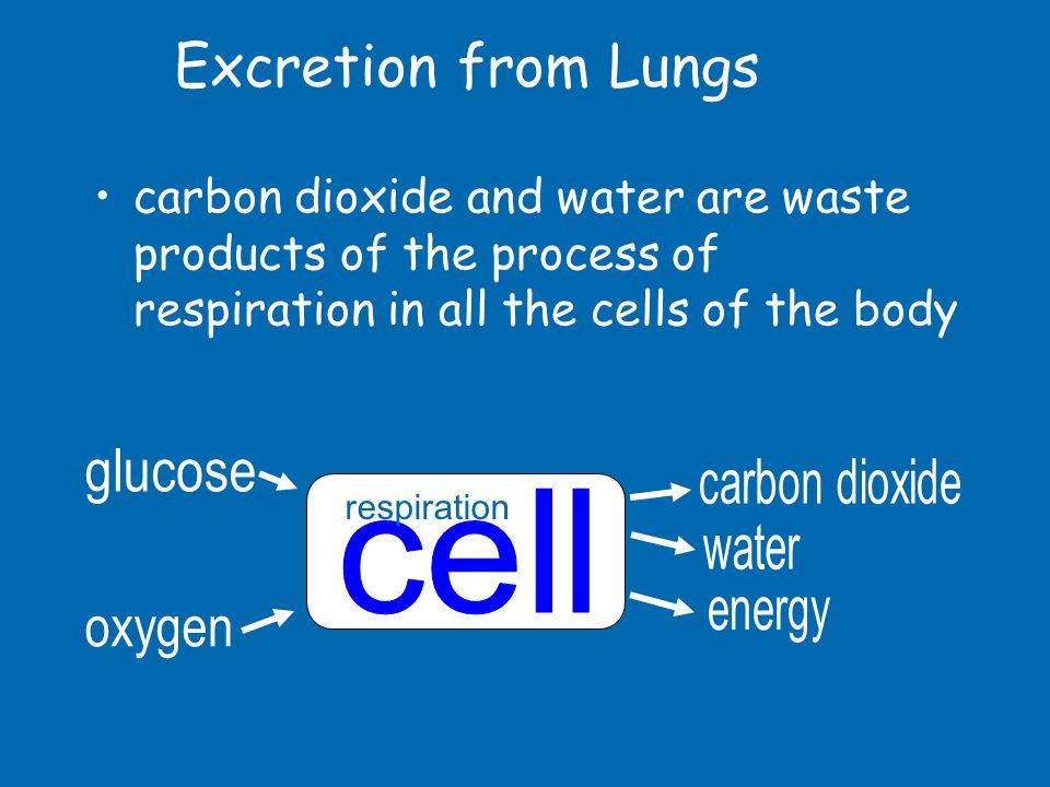 Excretion from Lungs glucose cell oxygen