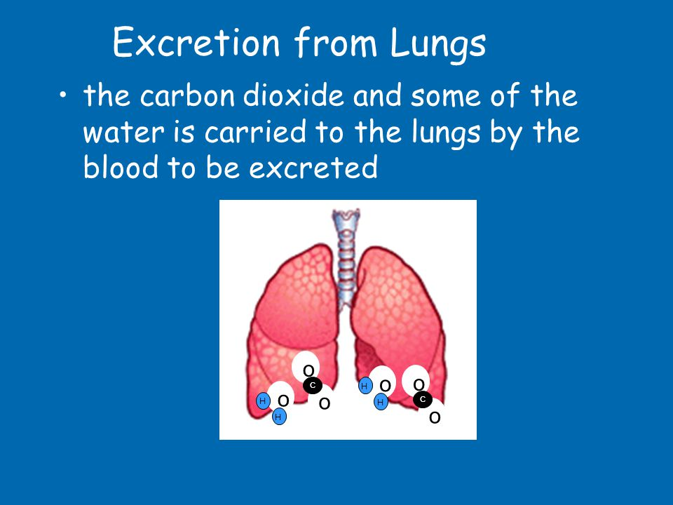 Excretion from Lungs the carbon dioxide and some of the water is carried to the lungs by the blood to be excreted.