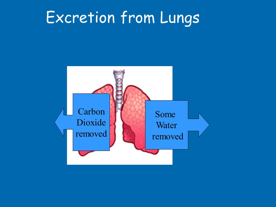 Excretion from Lungs Carbon Dioxide removed Some Water removed