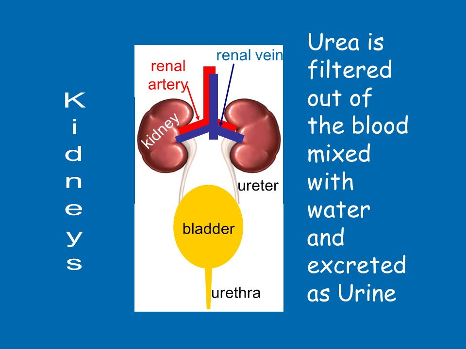 Urea is filtered out of the blood mixed with water and excreted as Urine