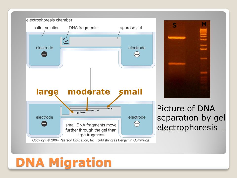 DNA Migration large moderate small