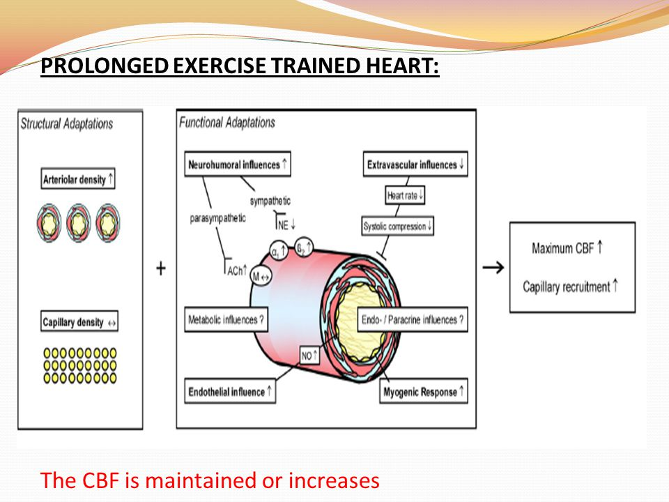 PROLONGED EXERCISE TRAINED HEART: The CBF is maintained or increases