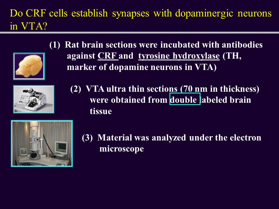 Do CRF cells establish synapses with dopaminergic neurons in VTA