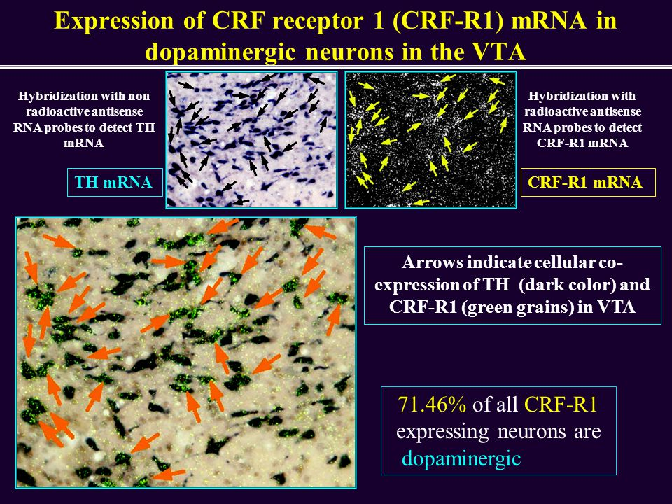 71.46% of all CRF-R1 expressing neurons are dopaminergic in VTA