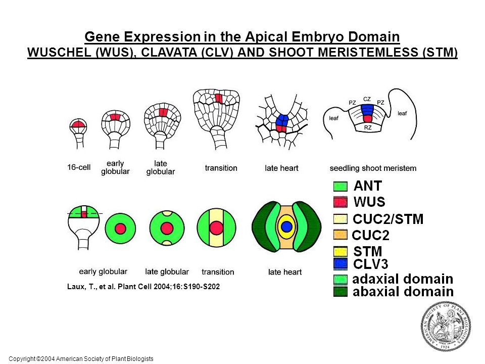 Gene Expression in the Apical Embryo Domain