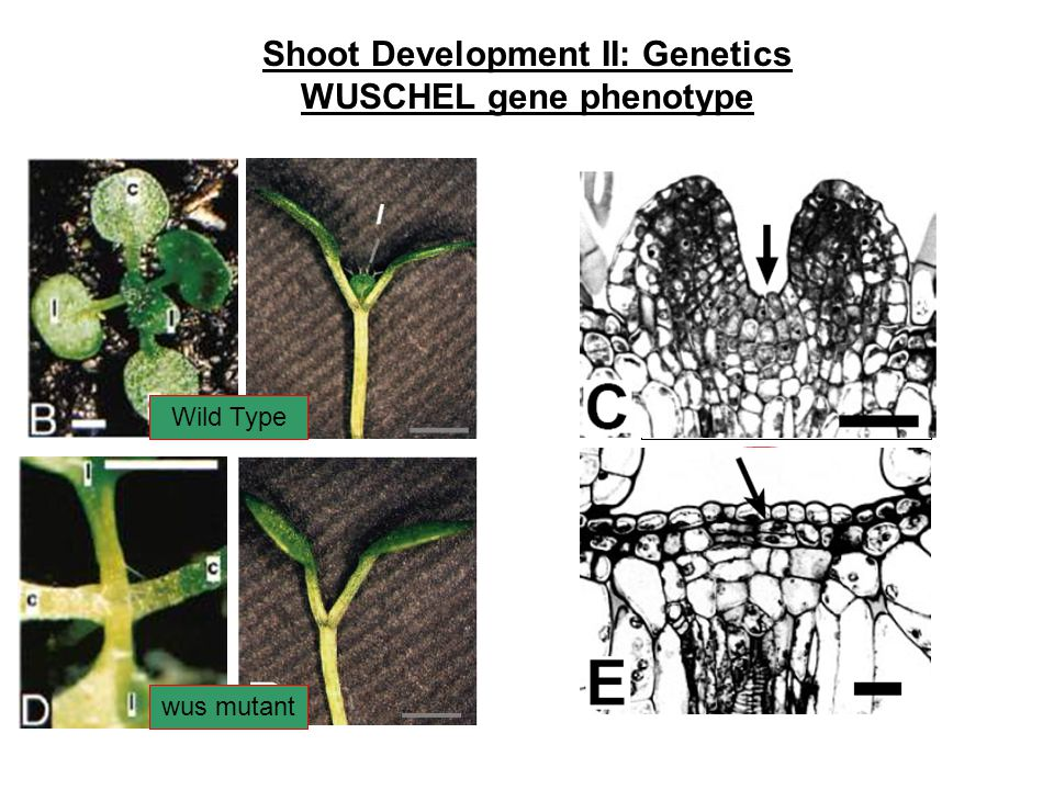 Shoot Development II: Genetics WUSCHEL gene phenotype