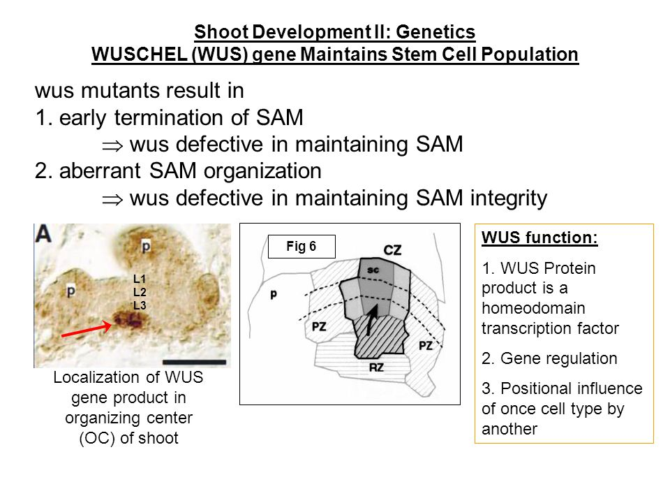 1. early termination of SAM  wus defective in maintaining SAM
