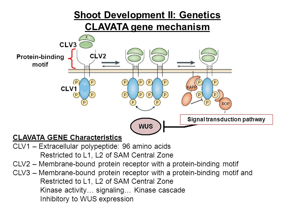 Shoot Development II: Genetics CLAVATA gene mechanism