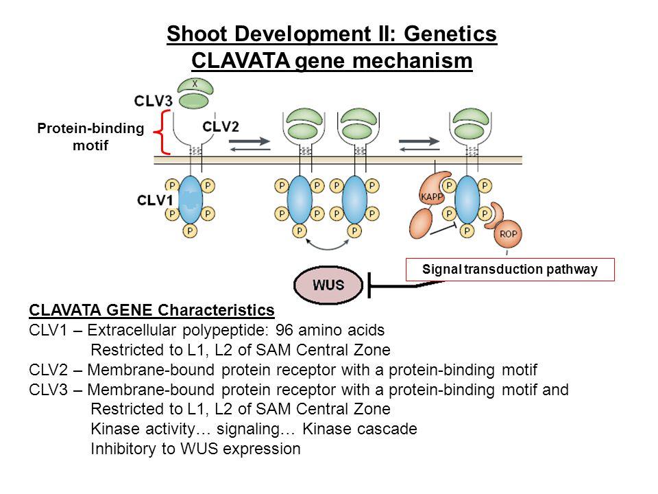 Shoot Development II: Genetics CLAVATA gene mechanism