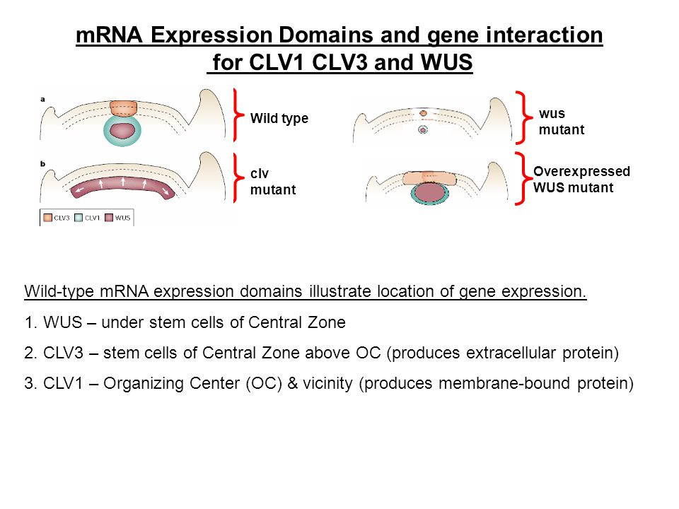 mRNA Expression Domains and gene interaction