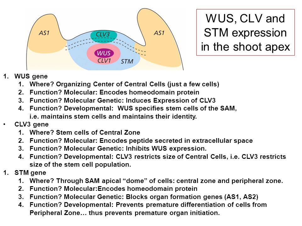 WUS, CLV and STM expression in the shoot apex
