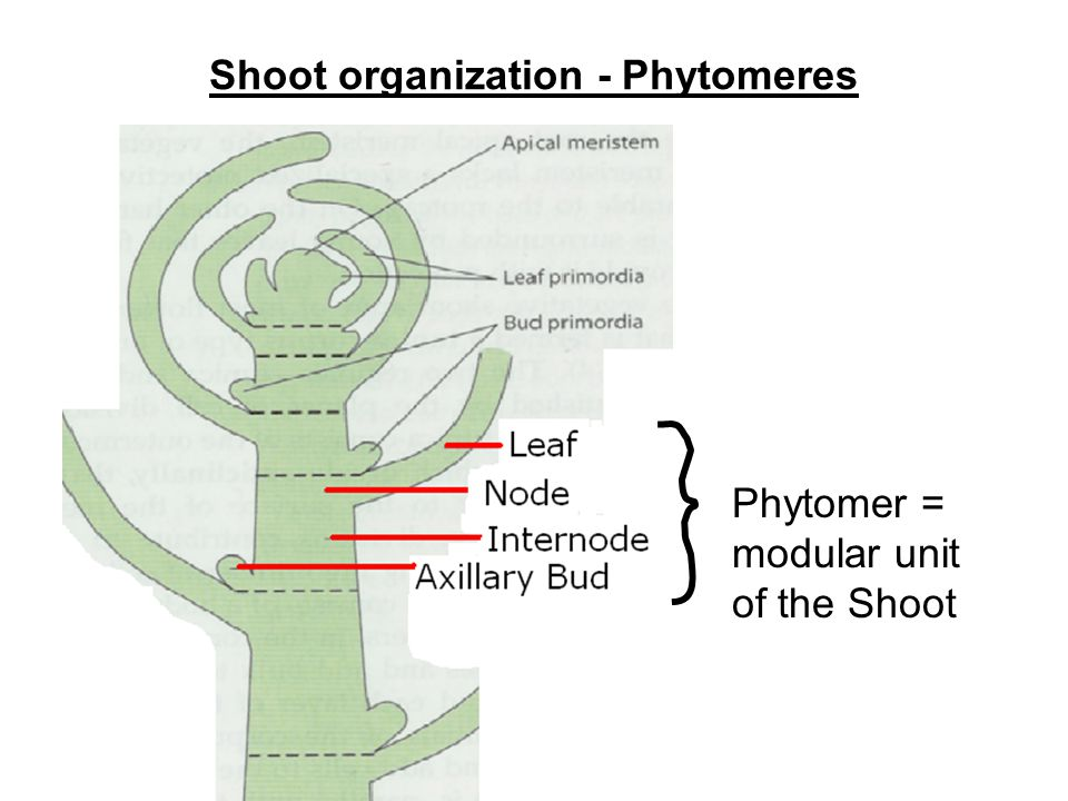 Shoot organization - Phytomeres